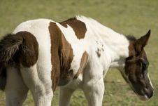 Free Baby Horse Stock Image - 2090091