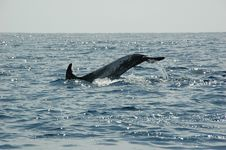 Free Dolphins In The Azores Royalty Free Stock Photography - 2090977