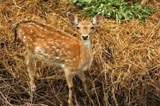 Free Close-up Shot Of The Deer Royalty Free Stock Photography - 2091167