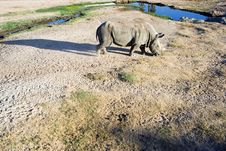 Free White Rhinoceros Royalty Free Stock Photo - 2093205