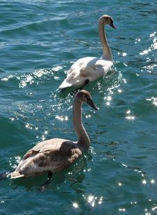 Free Swan Stock Image - 2093281