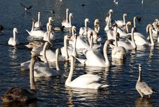 Free Swan Colony Stock Photo - 2093300