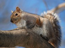 Free Squirrel Stock Photos - 2093373