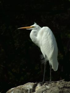 Great Heron Stock Photography