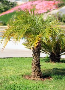 Free Palm Tree Royalty Free Stock Image - 2093476
