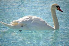 Free White Swan Stock Photos - 2093483