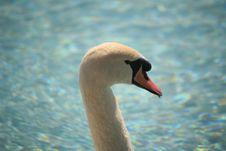 Free White Swan Stock Photo - 2093490