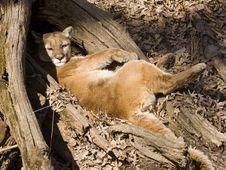 Free Mountain Lion Takes A Nap Stock Photo - 2093630