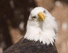 Free Bald Eagle Portrait (captive) Stock Photography - 2093632