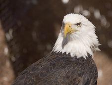 Free Bald Eagle Portrait (captive) Royalty Free Stock Photo - 2093635