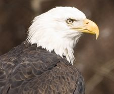 Free Bald Eagle Portrait (captive) Stock Image - 2093641