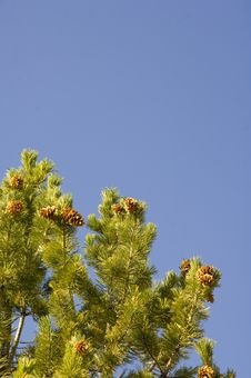 Free Pine Cones And Blue Sky Stock Images - 2093724