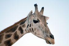 Free Giraffe Close-up Stock Image - 2093781