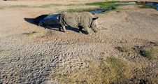 Free White Rhinoceros Royalty Free Stock Photo - 2093915