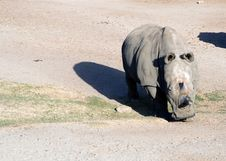 Free White Rhinoceros Stock Photos - 2095363