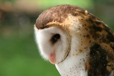 Free White-faced Owl Stock Image - 2095611