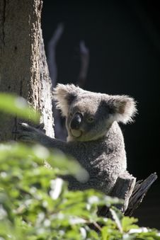 Free Native Australian Koala Royalty Free Stock Images - 2096229