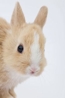 Free Brown-white Bunny, Isolated On Royalty Free Stock Photography - 2096817