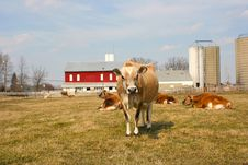Free Jersey Cow In A Pasture Royalty Free Stock Photos - 2097158