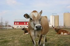Free Jersey Cow In A Pasture Royalty Free Stock Photography - 2097167
