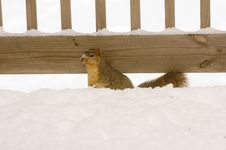 Free A Squirrel In The Snow Royalty Free Stock Photos - 2097598