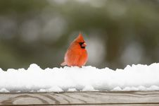 Cardinal On Snow Covered Rail Royalty Free Stock Photos