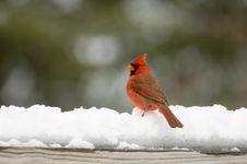 Free Cardinal On Snow Covered Rail Stock Photo - 2097610