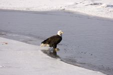 Bald Eagle On The Ice Royalty Free Stock Photo