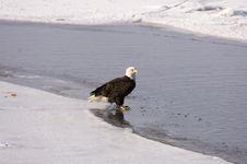 Free Bald Eagle On The Ice Royalty Free Stock Photo - 2097615