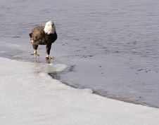 Free Bald Eagle On The Ice Royalty Free Stock Images - 2097619