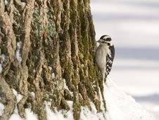 Free Downy Woodpecker On A Tree Royalty Free Stock Photo - 2097625