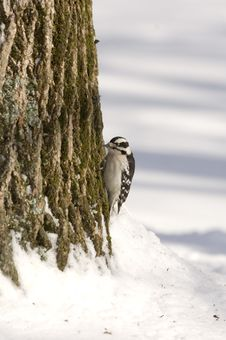 Free Downy Woodpecker On A Tree Royalty Free Stock Photography - 2097627