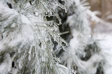 Free Icicles On An Evergreen Royalty Free Stock Images - 2097639