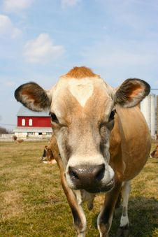 Free Jersey Cow In A Pasture Royalty Free Stock Images - 2098219