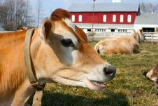 Free Jersey Cow In A Pasture Stock Images - 2098314