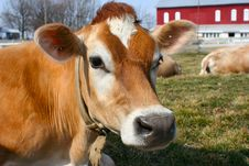 Free Jersey Cow In A Pasture Stock Photos - 2098383