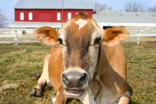 Free Jersey Cow In A Pasture Royalty Free Stock Images - 2098399