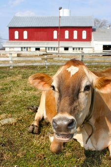Free Jersey Cow In A Pasture Royalty Free Stock Photography - 2098407