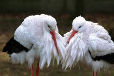 Free Stork Couple Stock Photo - 2099510