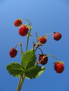 Free Wild Strawberry Stock Photos - 2099573