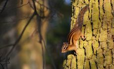 Free Squirrel Climbing Down A Tree Stock Photos - 2099743