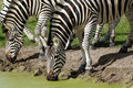 Free Zebras Are Dirnking Water Royalty Free Stock Photography - 20906787