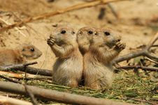 Free Baby Prairie Dogs Eating Royalty Free Stock Image - 20901866