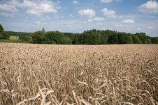 Free Field Of Ripe Wheat Royalty Free Stock Photos - 20902318