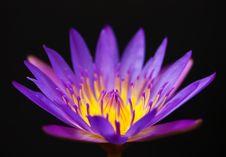 Free Beautiful Lotus Stock Photos - 20902343