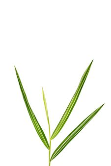 Free Bamboo Leaf Royalty Free Stock Photo - 20902365