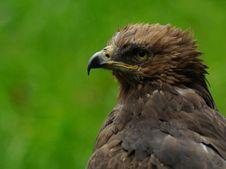 Free Lesser Spotted Eagle (Aquila Pomarina) Royalty Free Stock Photo - 20902425