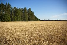 Free Golden Barley Field Royalty Free Stock Image - 20902486
