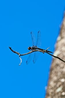 Free Dragonfly Royalty Free Stock Photos - 20902628