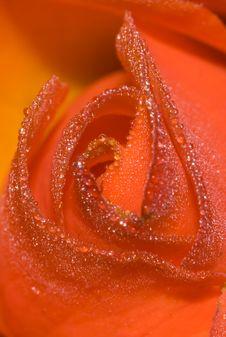 Free Rose Petals Stock Photo - 20904360